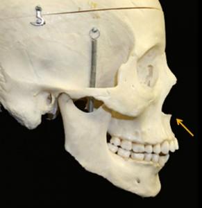 anterior nasal spine skull