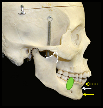 dry skull lateral mandible anatomy with animations
